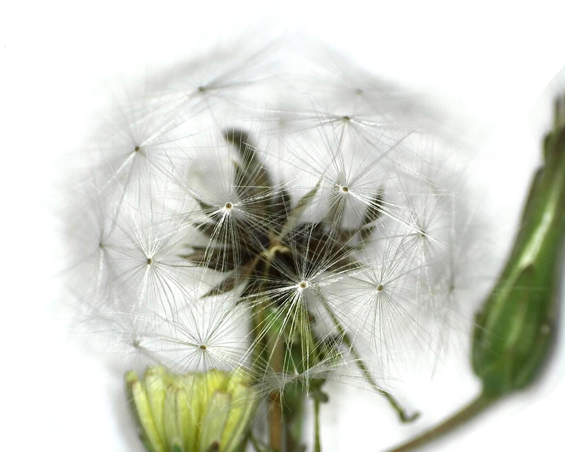 Stachel- oder Kompasslattich
