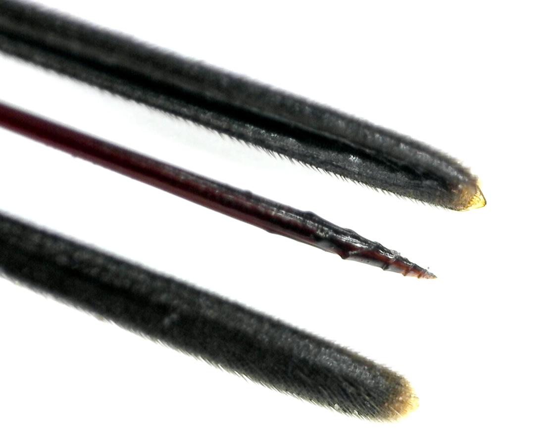 Holzschlupfwespe