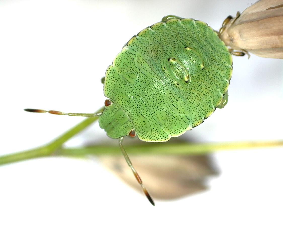 Grüne Stinkwanze