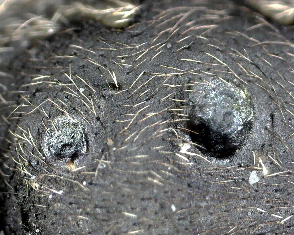 Spaltenkreuzspinne