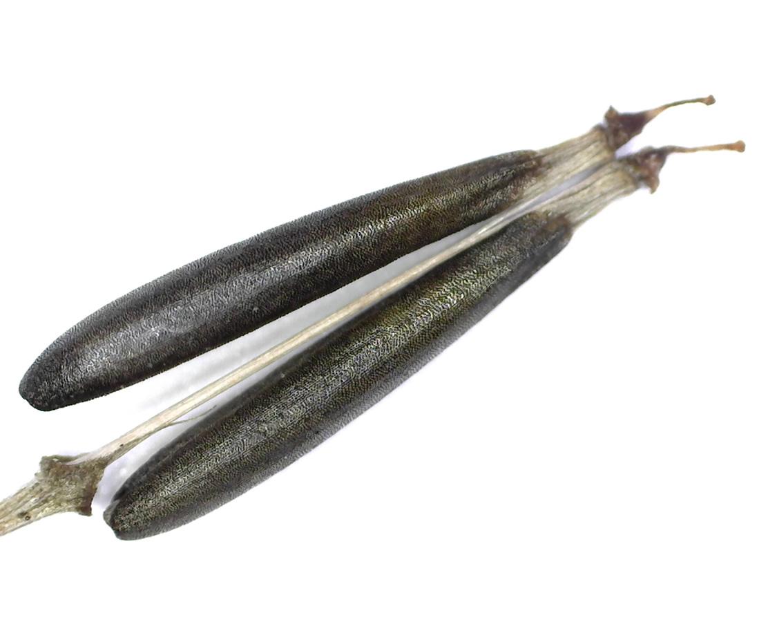 Wiesenkerbel