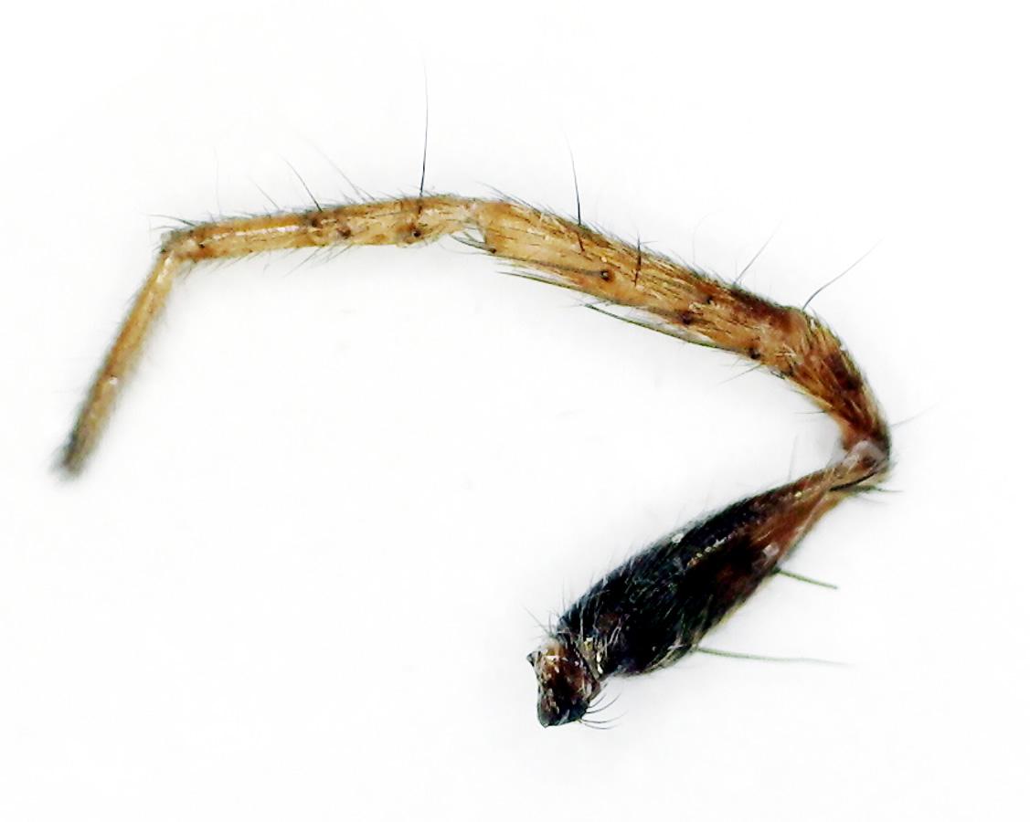 Wolfsspinne, Gattung Pardosa spec.