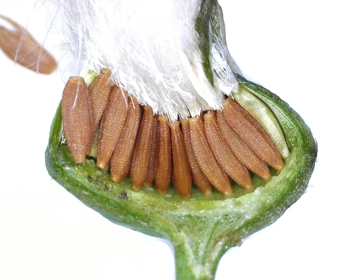 Gemüse-Gänsedistel