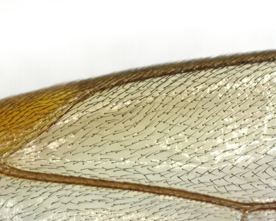 Gelbe Schlupfwespe
