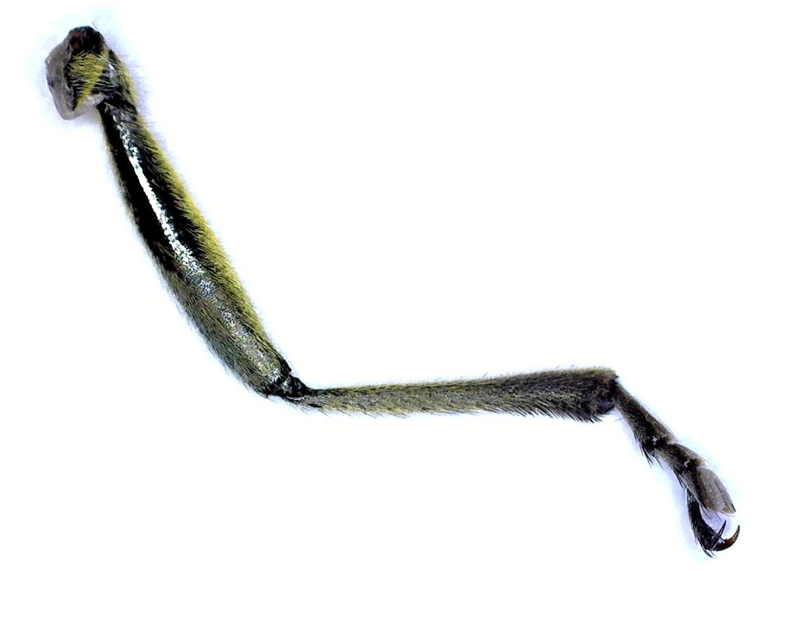 Leiterbock