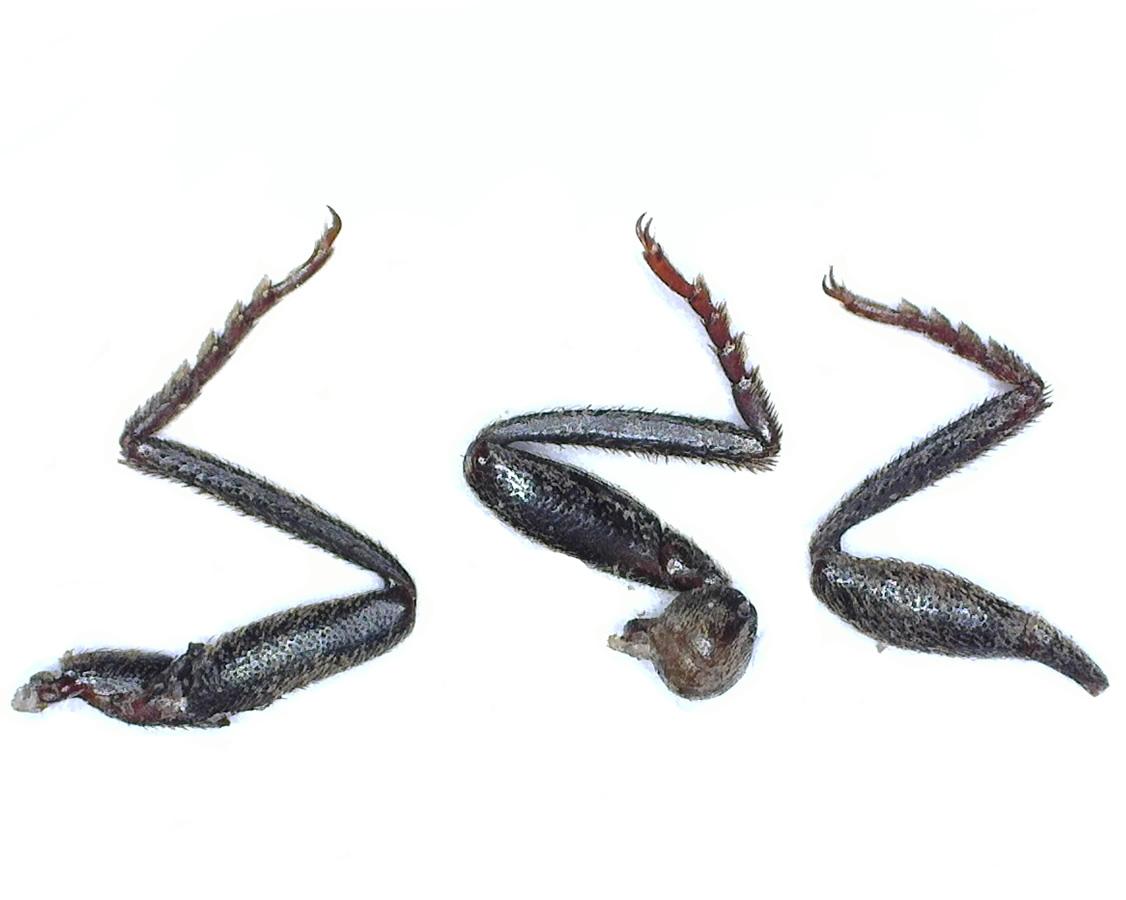 Mausgrauer Schnellkäfer