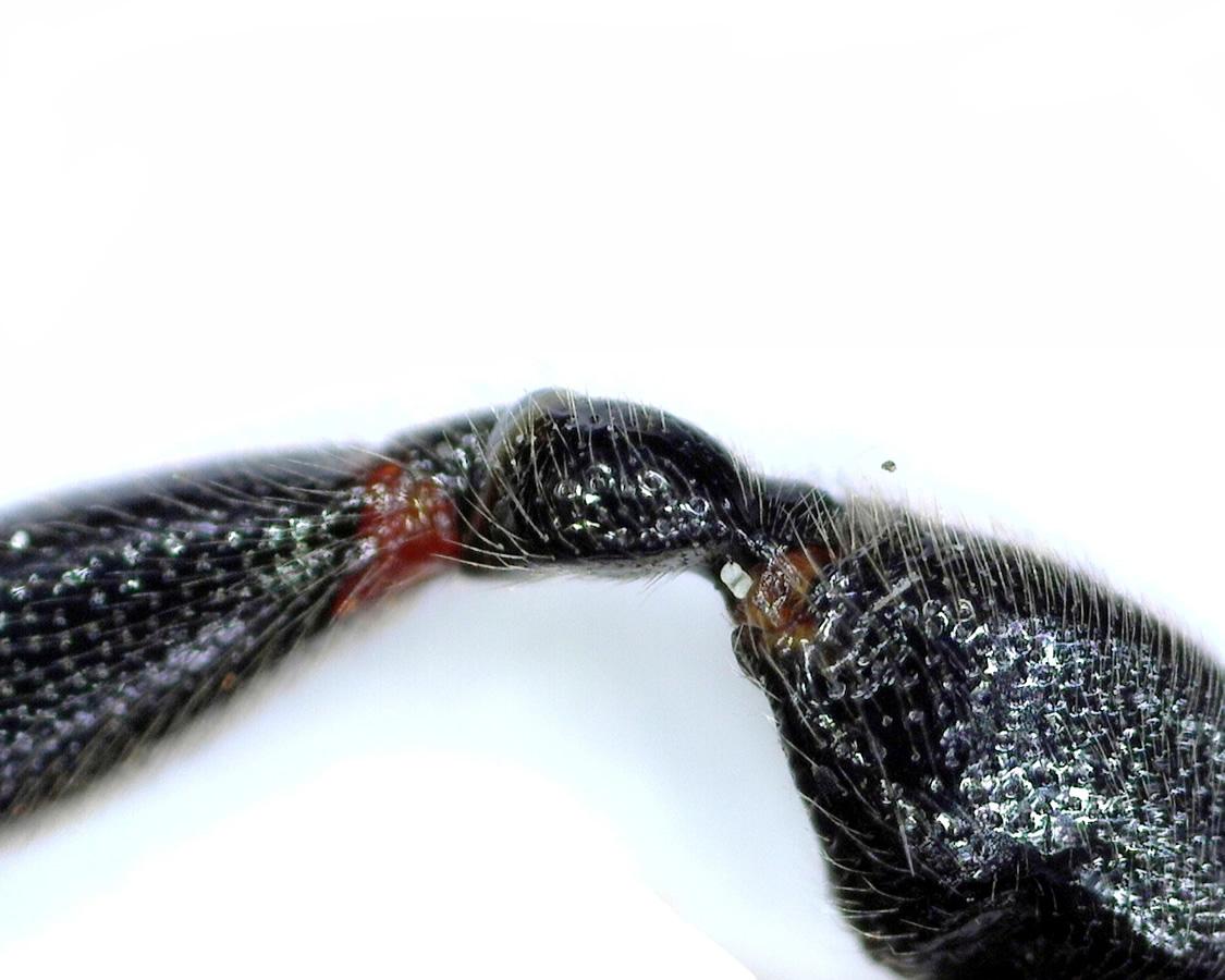 Schwarze Schlupfwespe