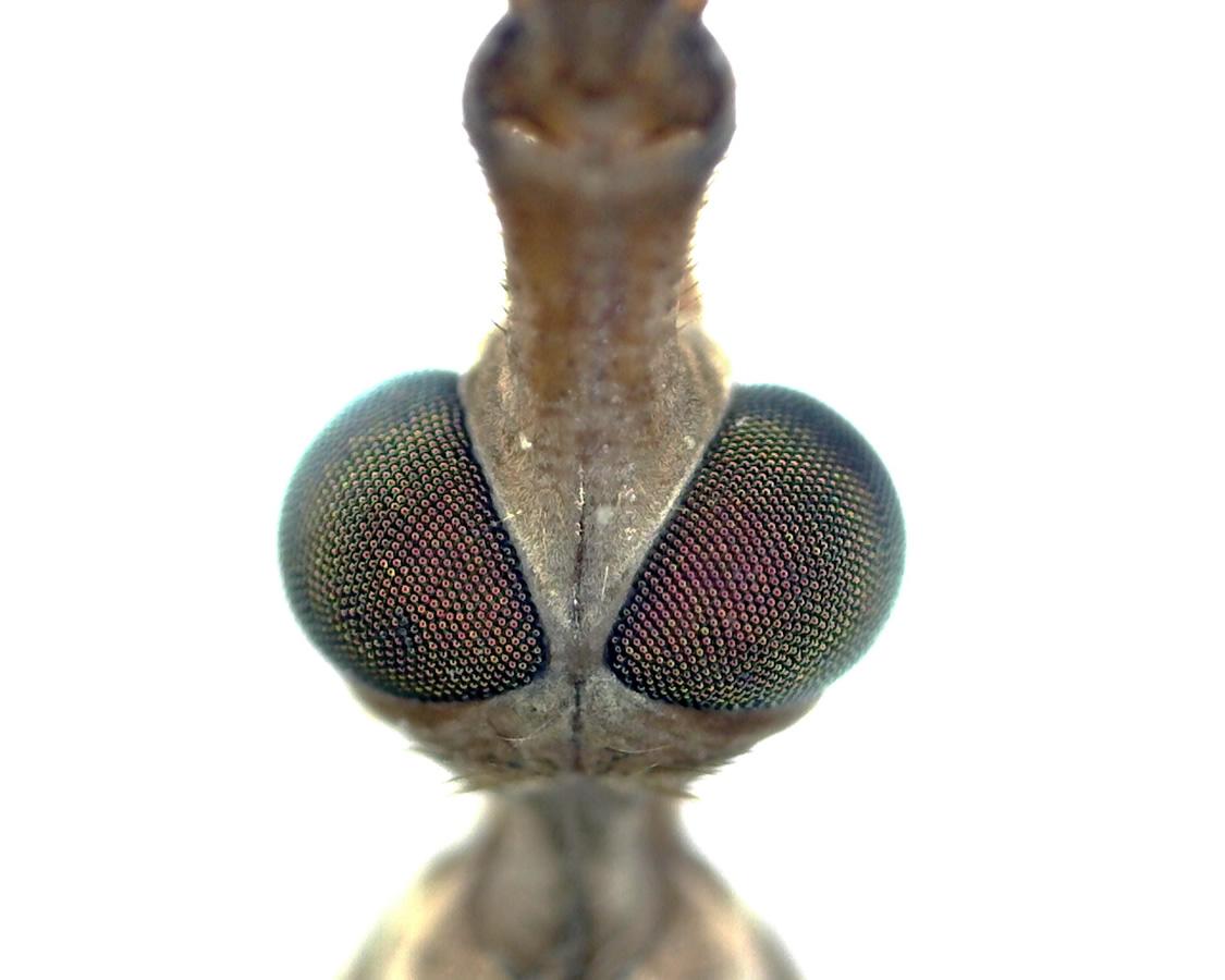 Streifenflügelige Schnake