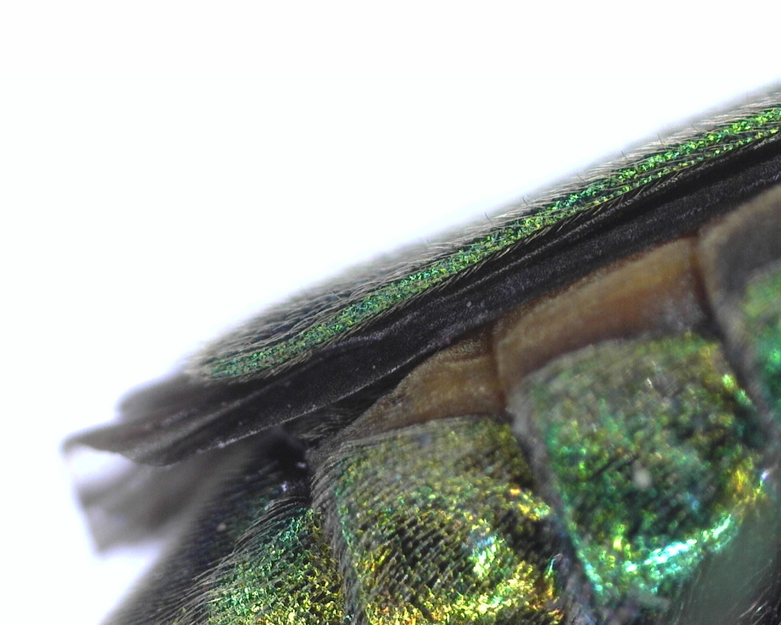 Grüner Scheinbockkäfer