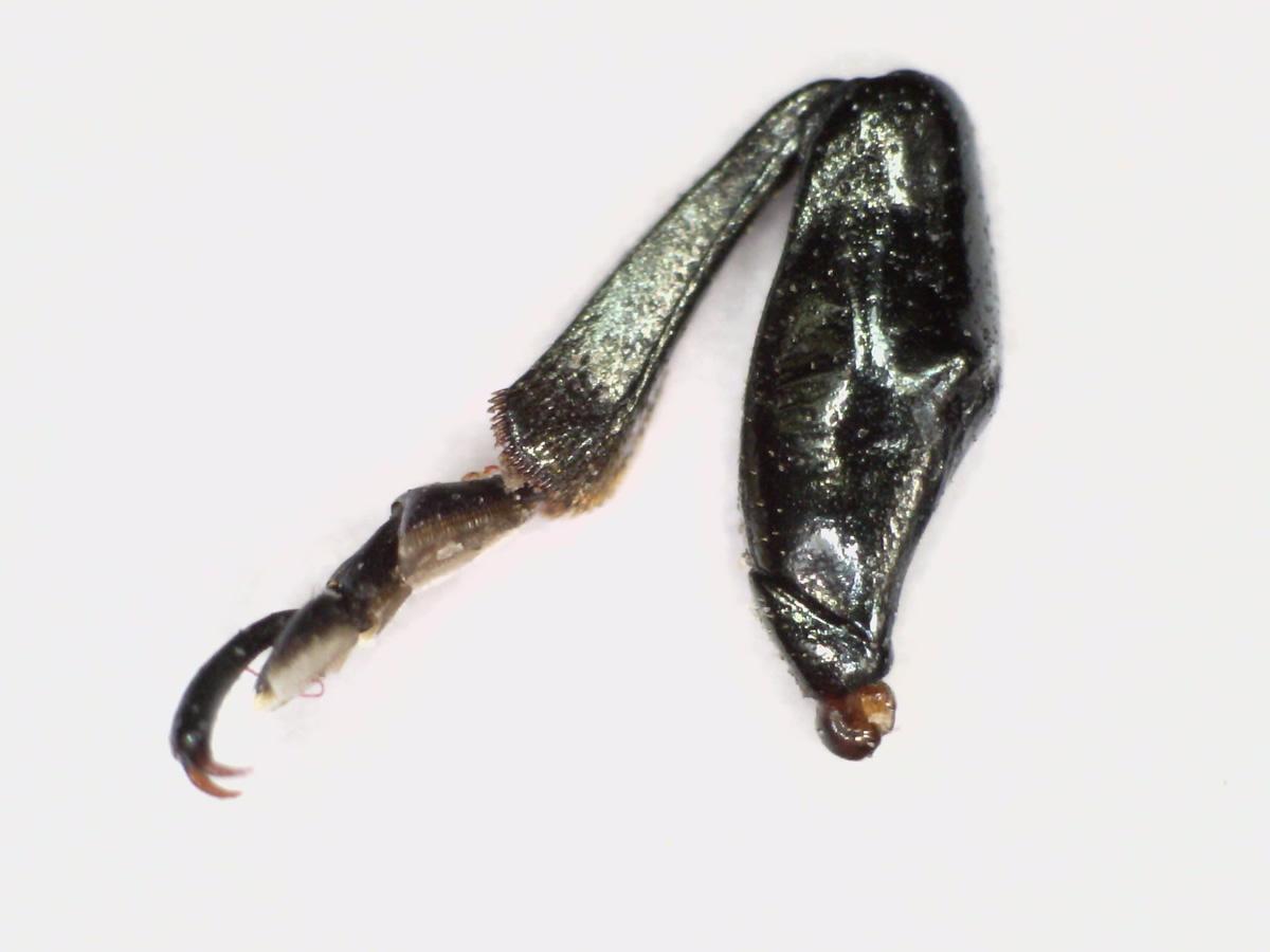 Pappelblattkäfer