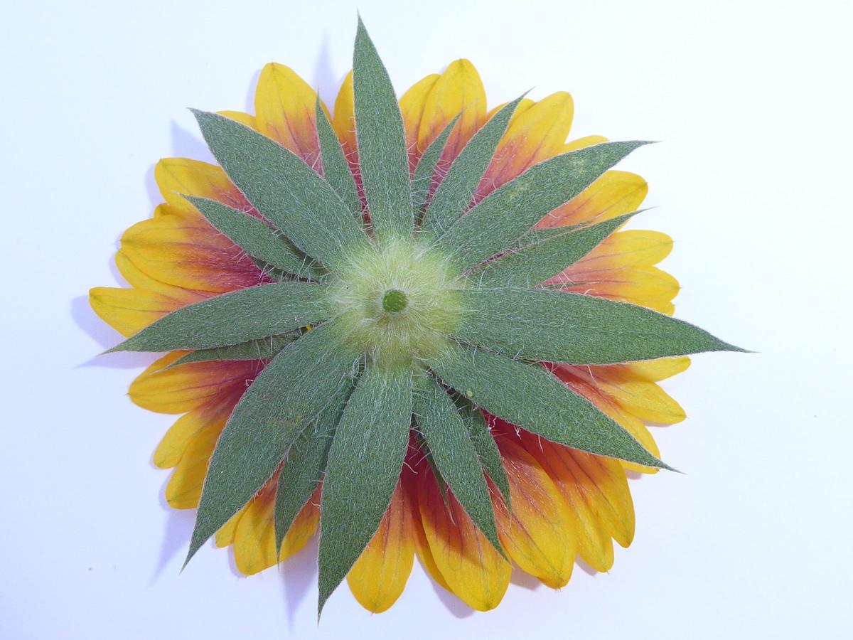 G14 - Foto 09 - Sonnenbraut, Blütenkörchen von unten