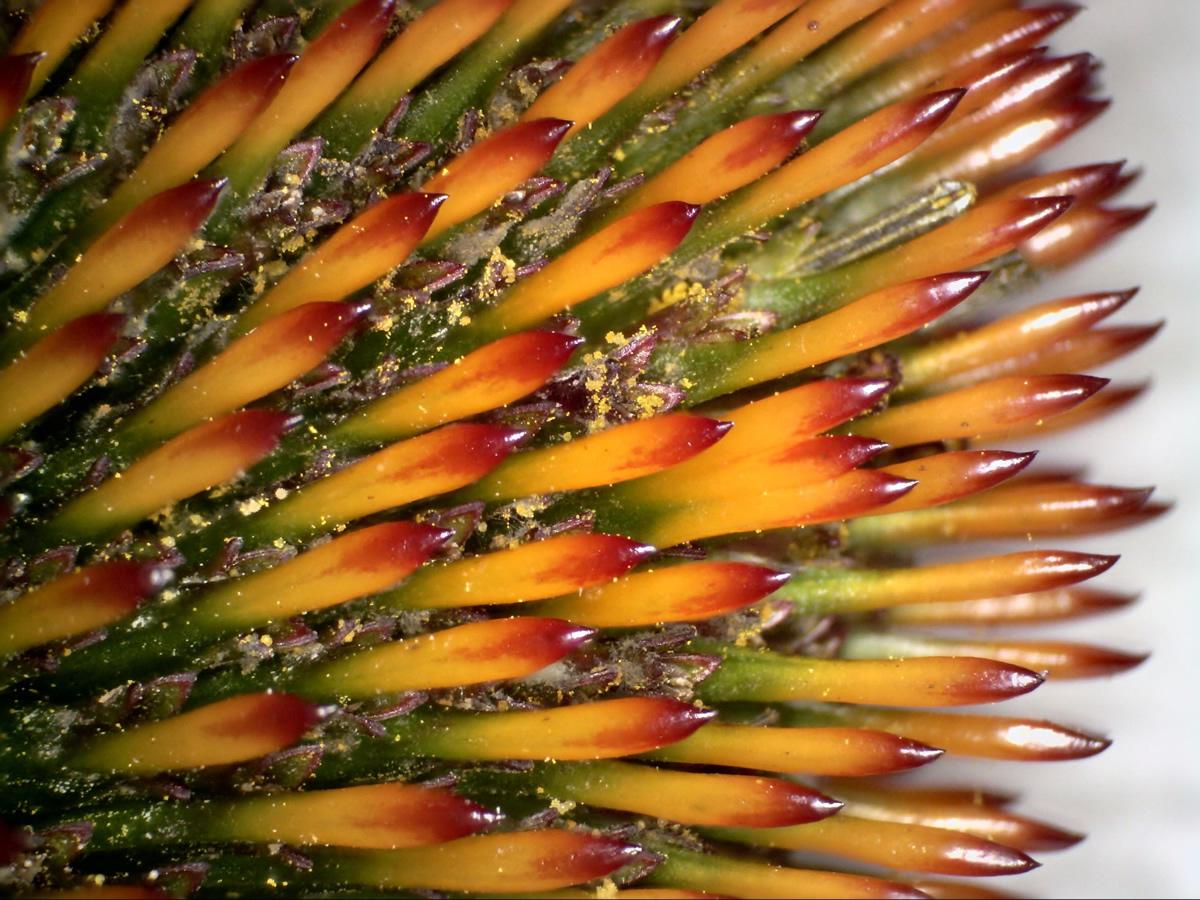 G14 - Foto 11 - Spreublätter (Tragblätter) der Einzelblüten des Purpurfarbenen Sonnenhuts