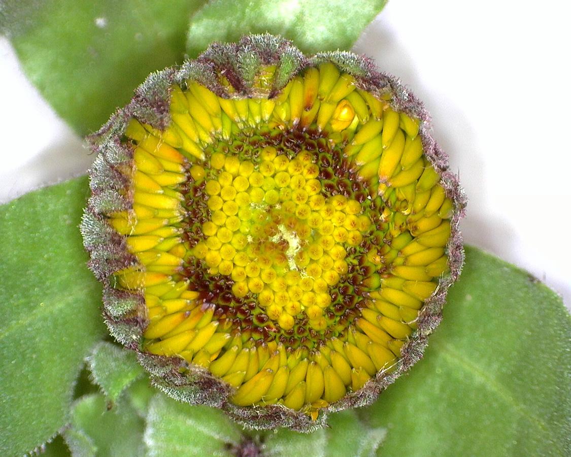 G14 - Foto 14 - Blütenkörbchen der Ringelblume