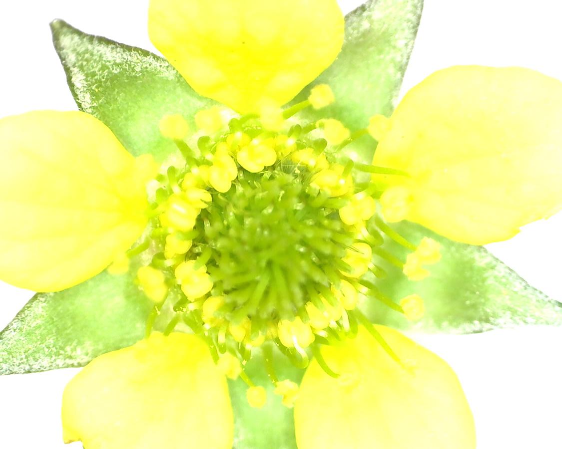 G14 - Foto 15 - Blüte der Gewöhnlichen Nelkenwurz