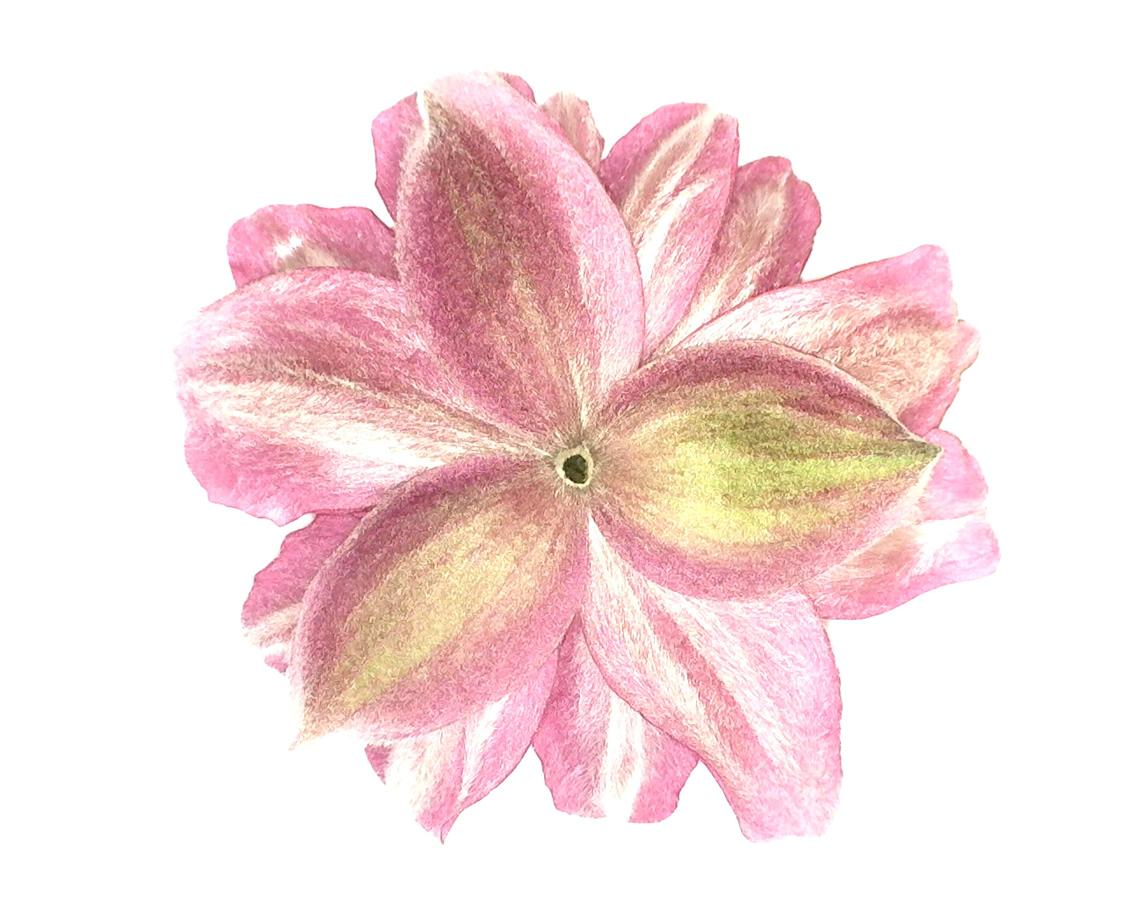 G14 - Foto 17 - Unterseite der Blüte der Herbstanemone