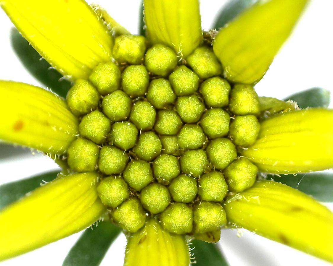 G14 - Foto 19 - Blütenkörbchen des Mädchenauges