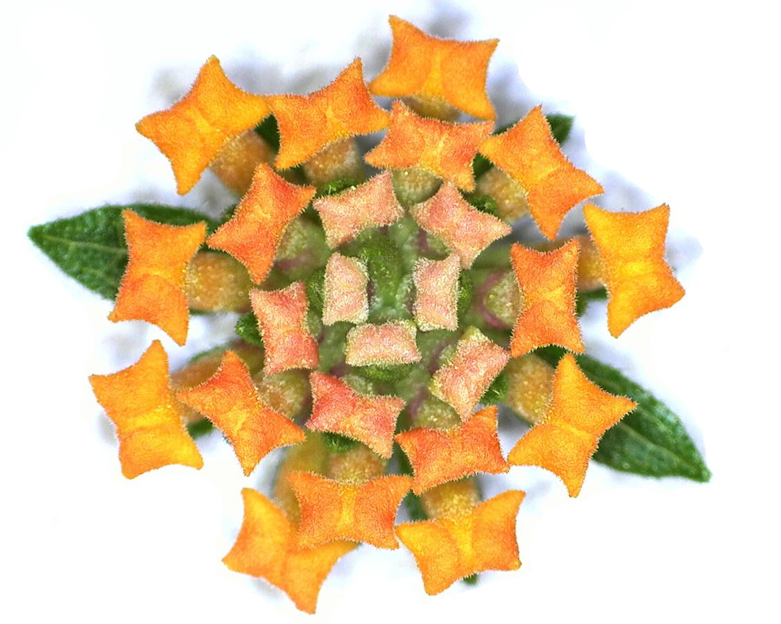 G14 - Foto 21 - Blütenkörbchen des Wandelröschens