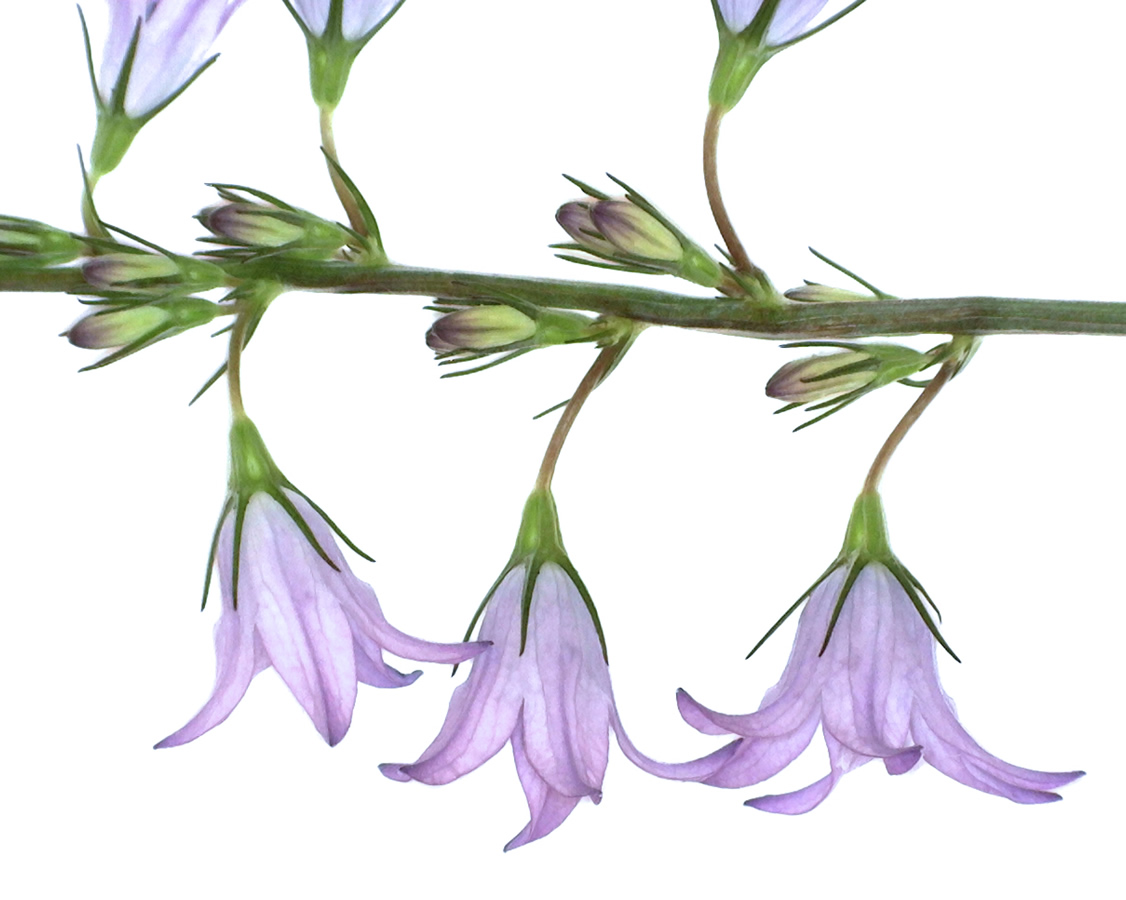 G14 - Foto 22 - Blüten der Wiesen-Glockenblume