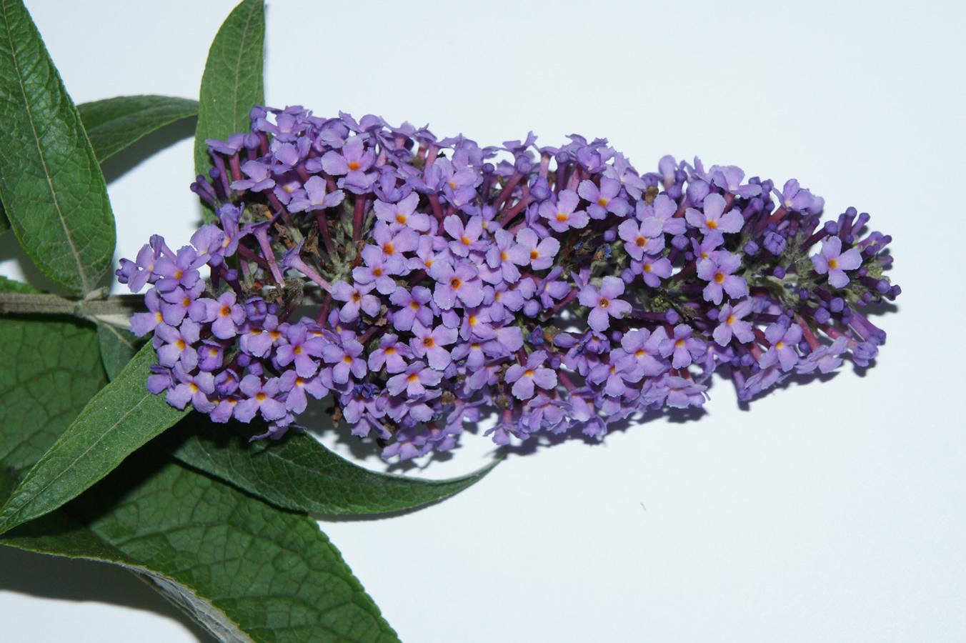 Sommerflieder, Schmetterlingsflieder