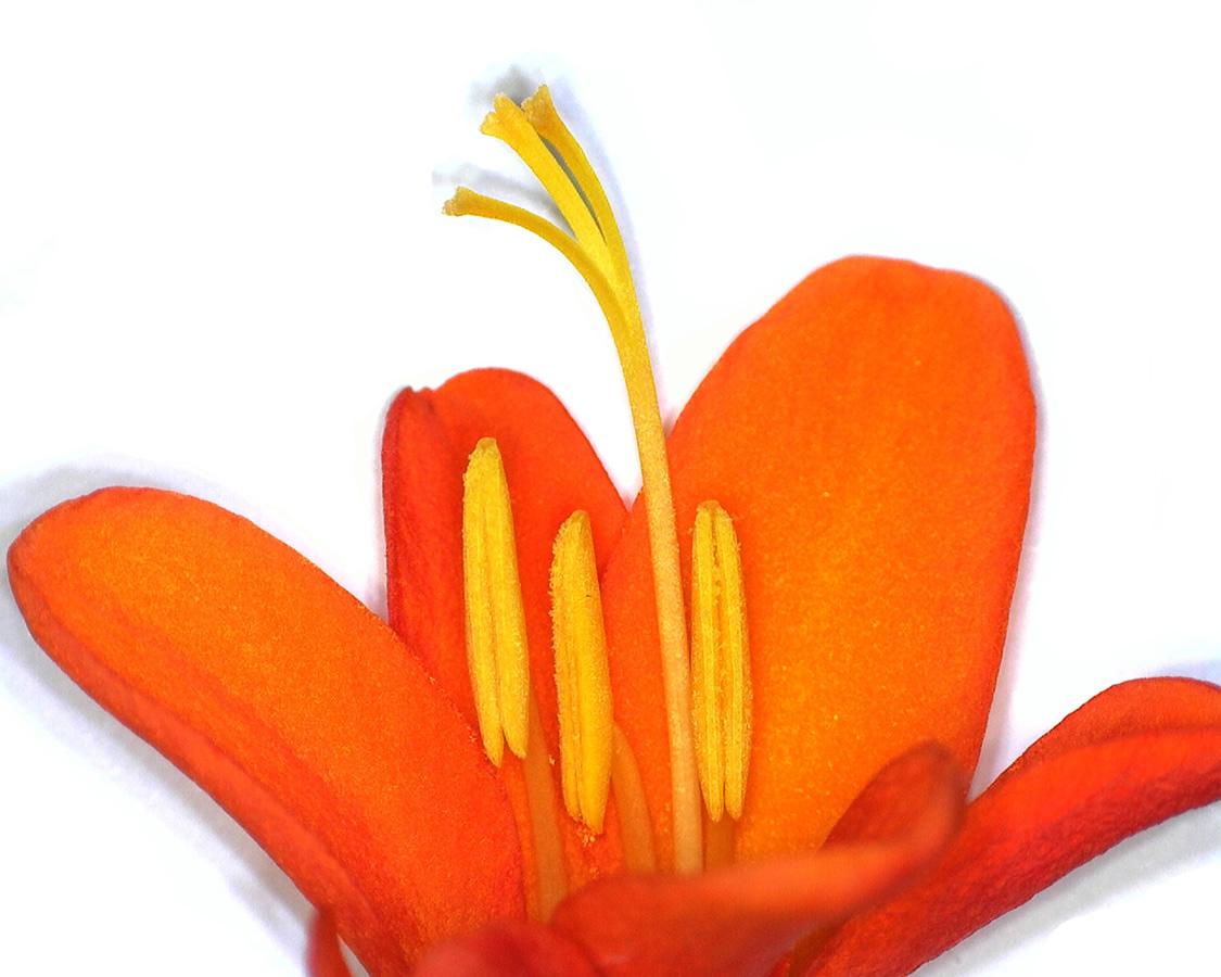 Garten-Monbretie