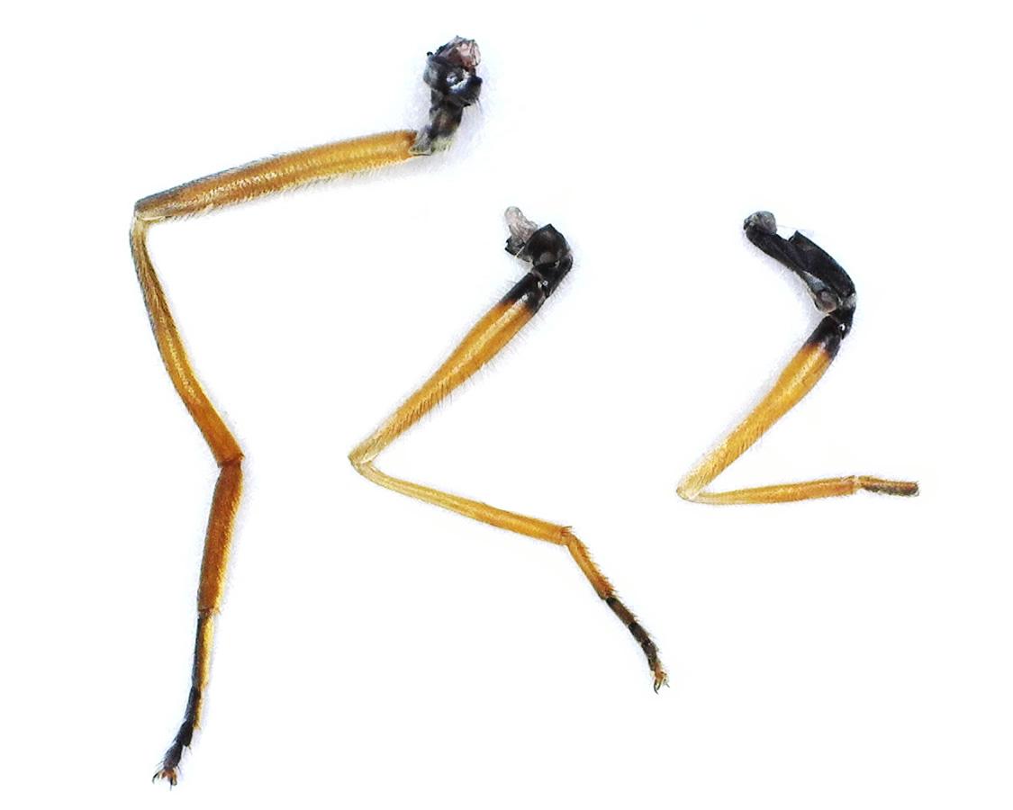 Gemeine Feldschwebfliege