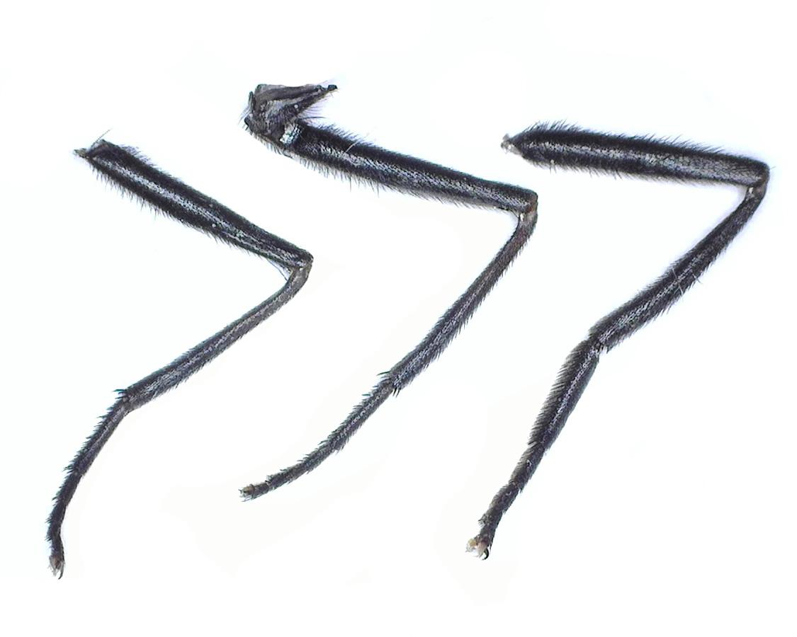 Gemeine Waldschwebfliege