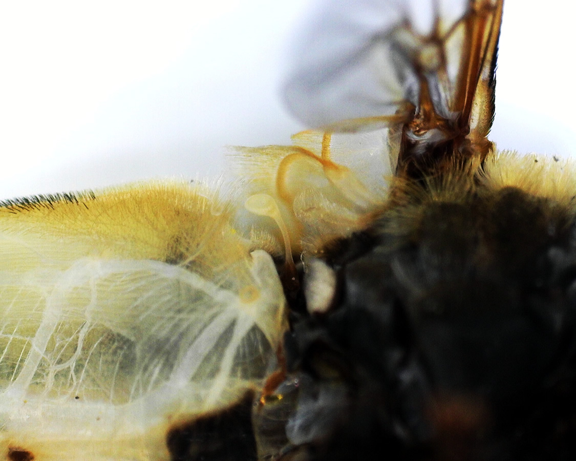 Große Sumpfschwebfliege