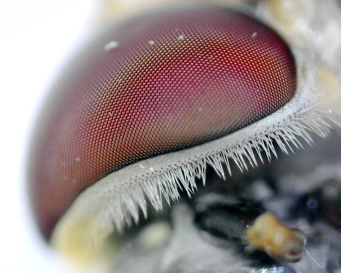 Hainschwebfliege