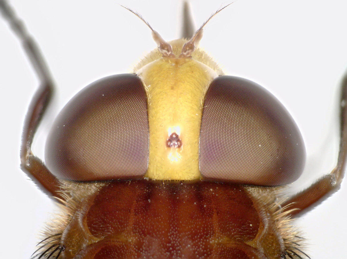 Hornissenschwebfliege