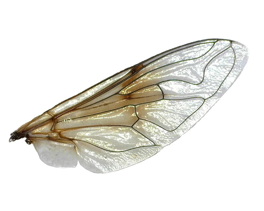 Kleine Keilfleckschwebfliege