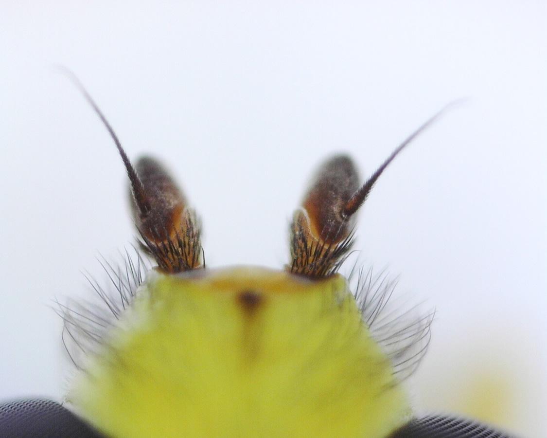 Späte Gelbrandschwebfliege