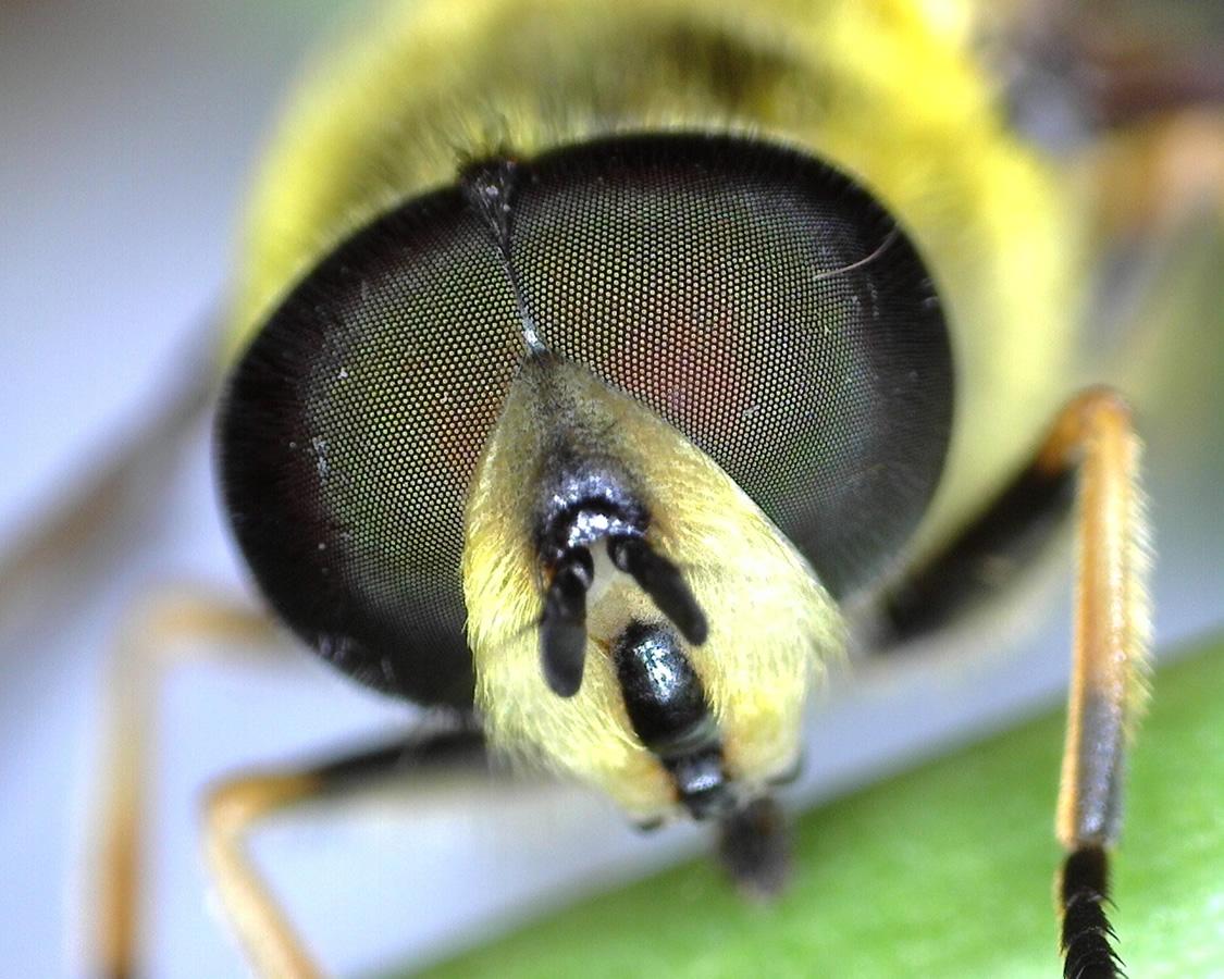Totenkopfschwebfliege, Gemeine Doldenschwebfliege