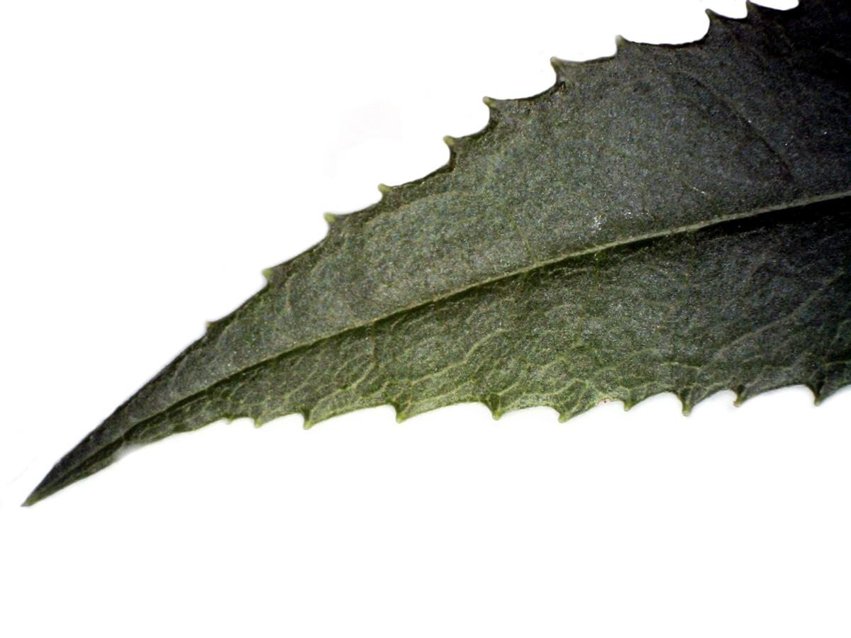 Fuchs-Greiskraut
