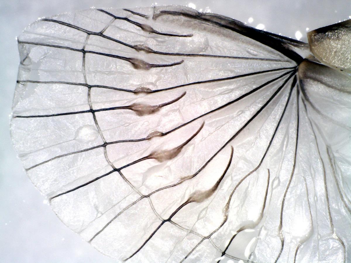 Gemeiner Ohrwurm