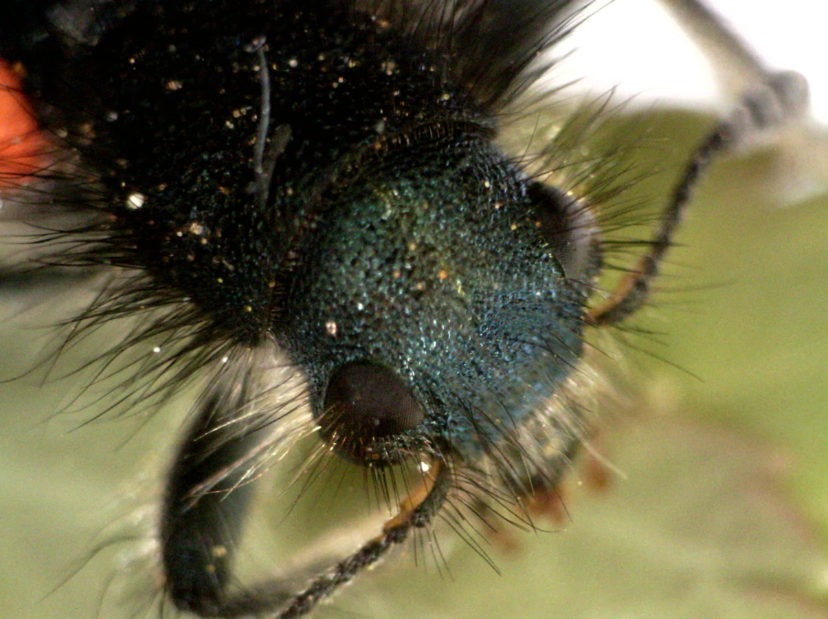Gemeiner Bienenkäfer