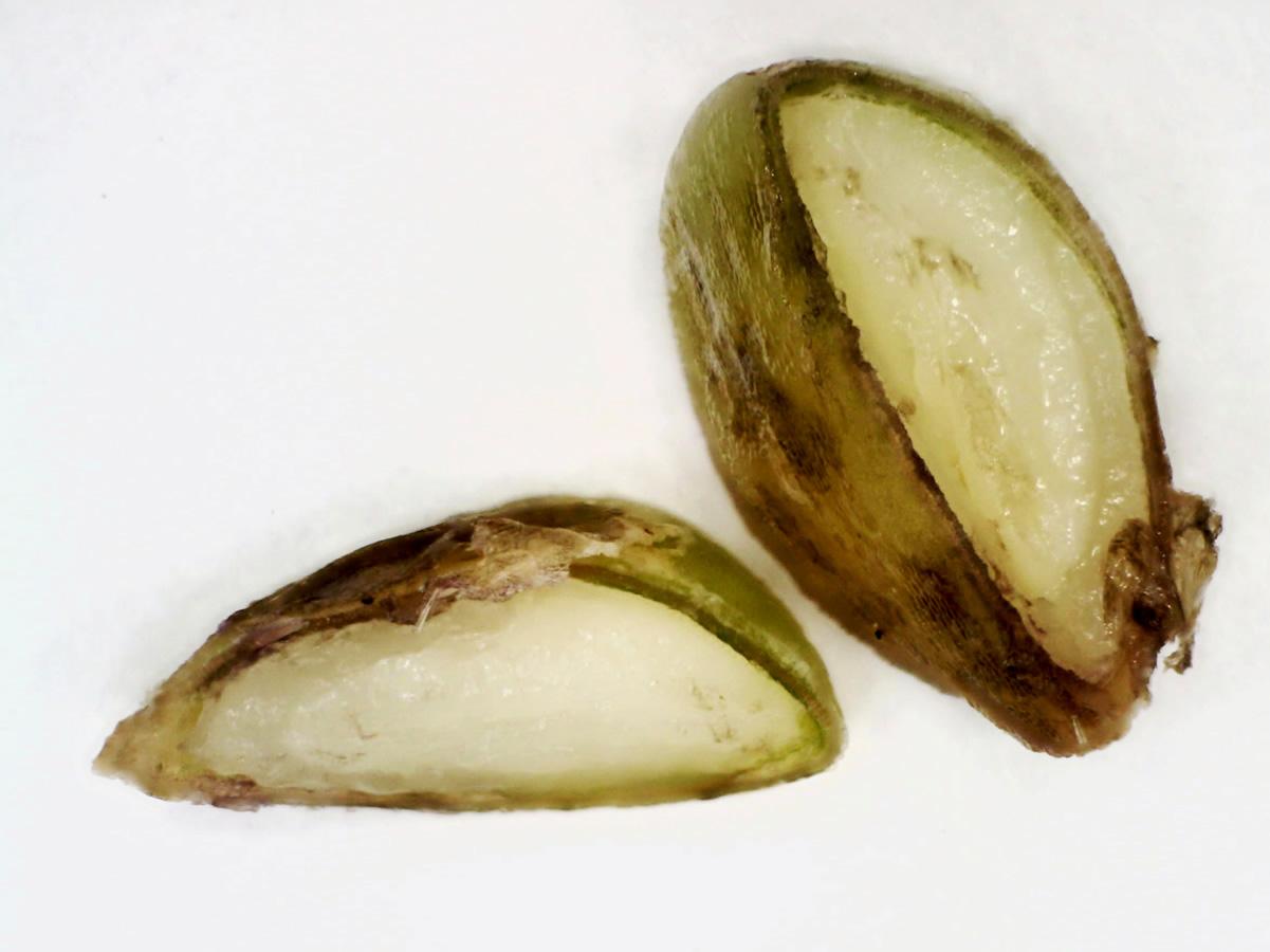 Gemeiner (Stacheliger) Hohlzahn
