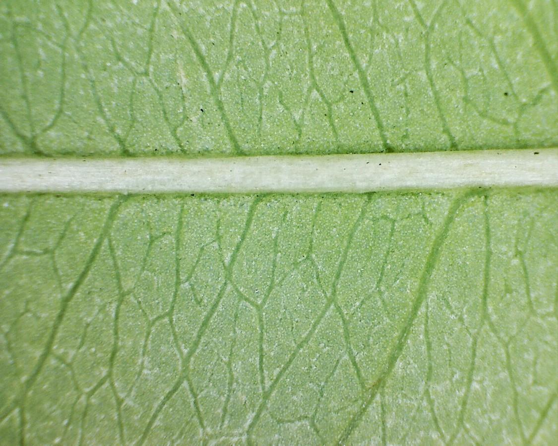 Gewöhnliche Traubenkirsche