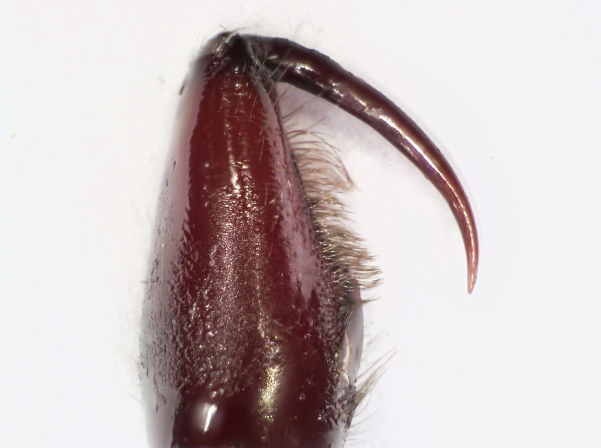 Rubinfarbene Sechsaugenspinne