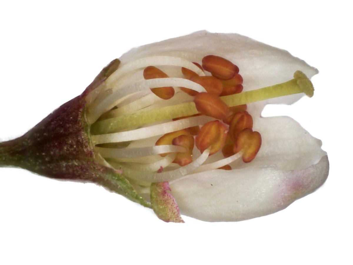Schlehdorn