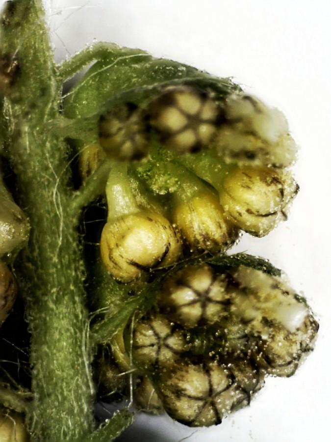 Beifußblättriges Traubenkraut