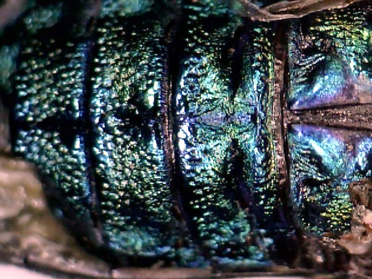 Grüner Wacholder-Prachtkäfer