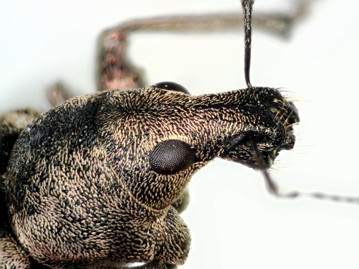 Gefurchter Dickmaulrüssler