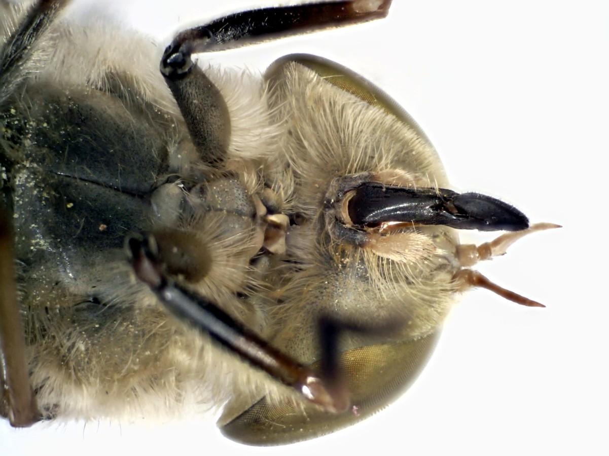 Bremse Atylotus rusticus