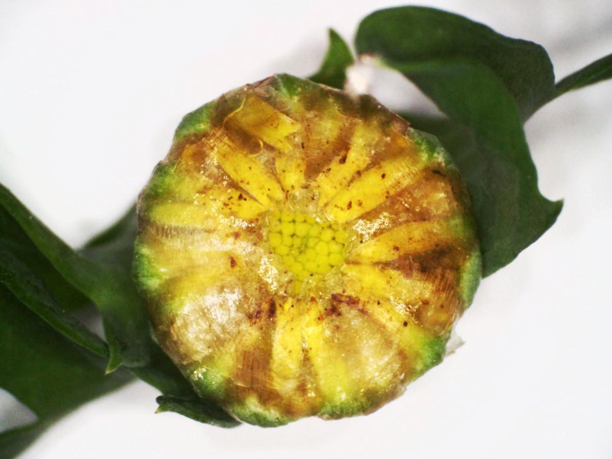 Kronenwucherblume