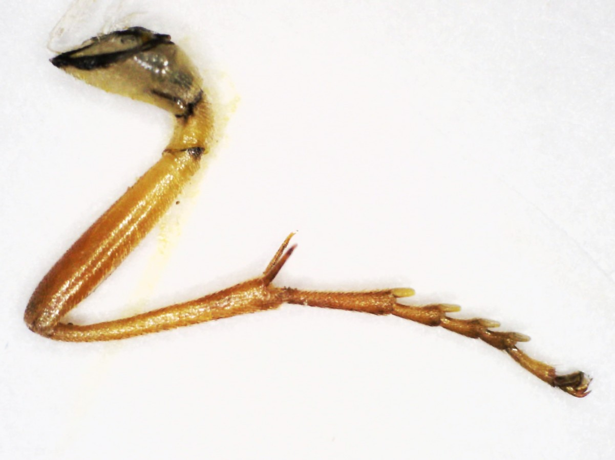 Blattwespe Tenthredopsis sordida