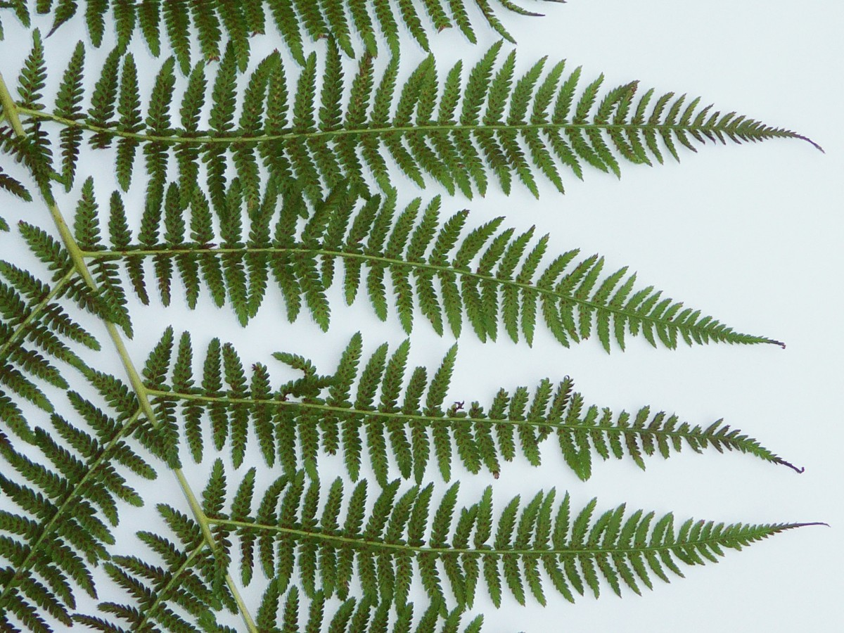Wald-Frauenfarn