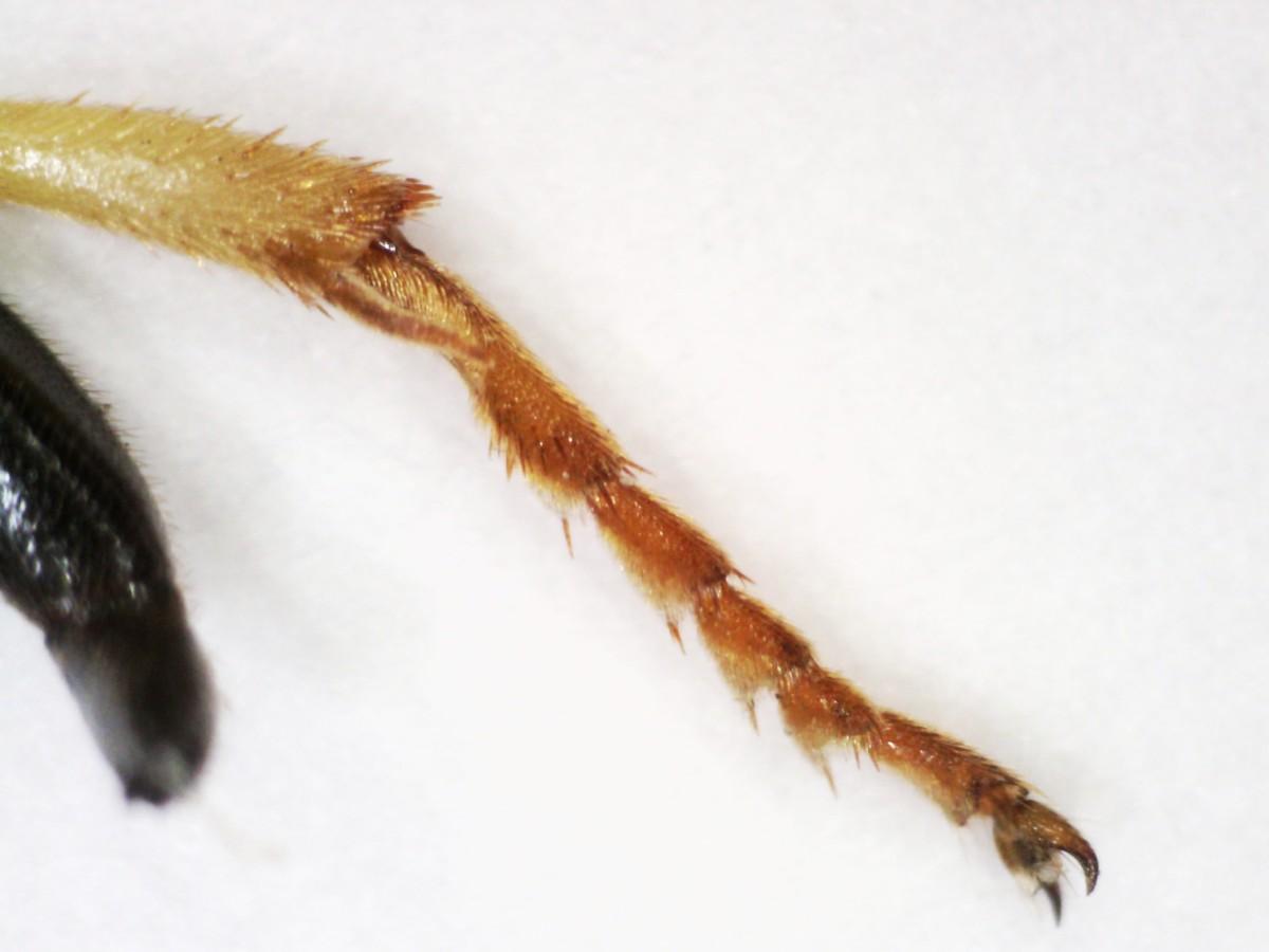 Schlupfwesepe Ichneumon stramento