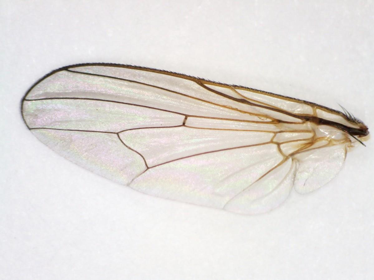 Coenosia spec