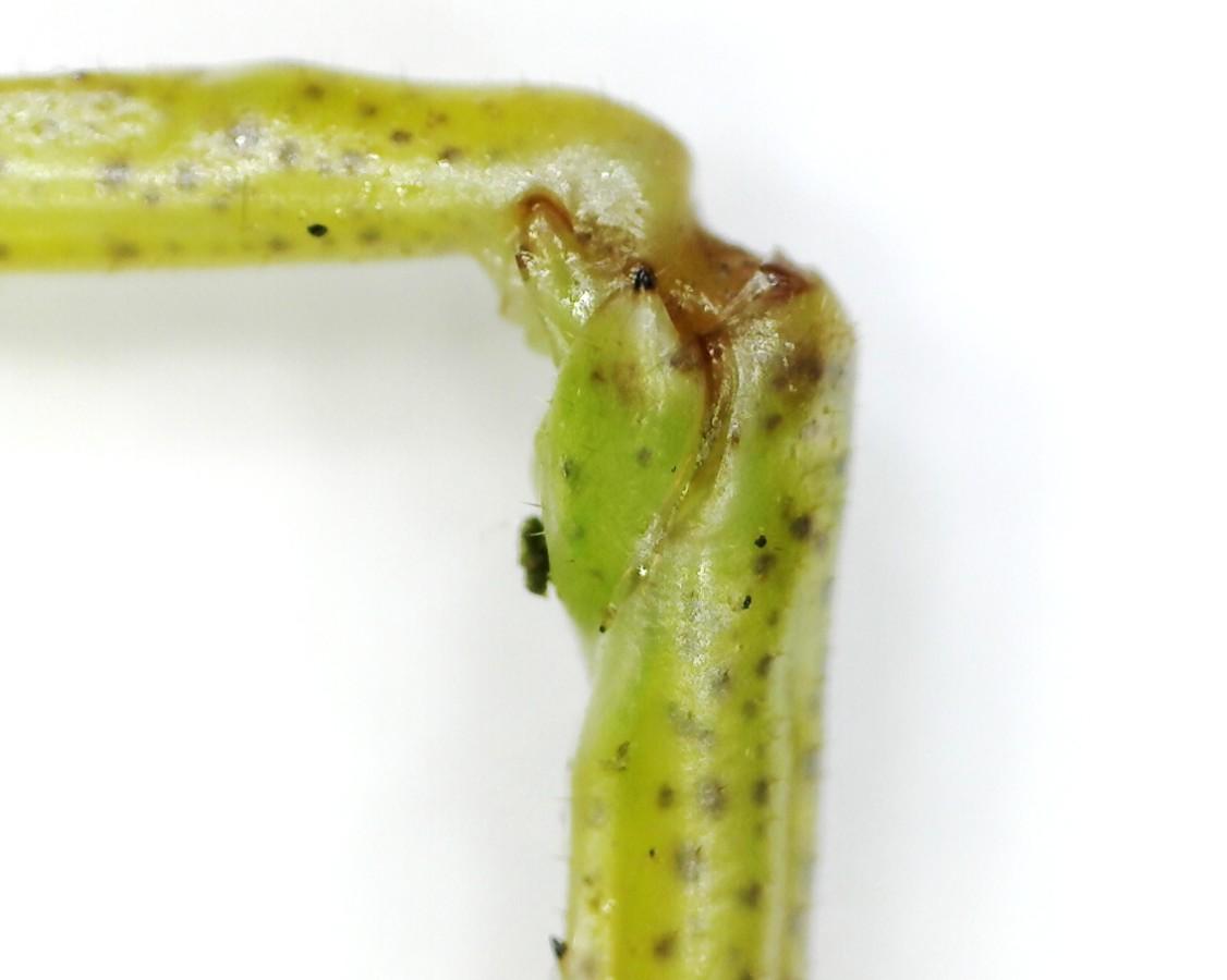 Grünes Heupferd, 6. Larvenstadium
