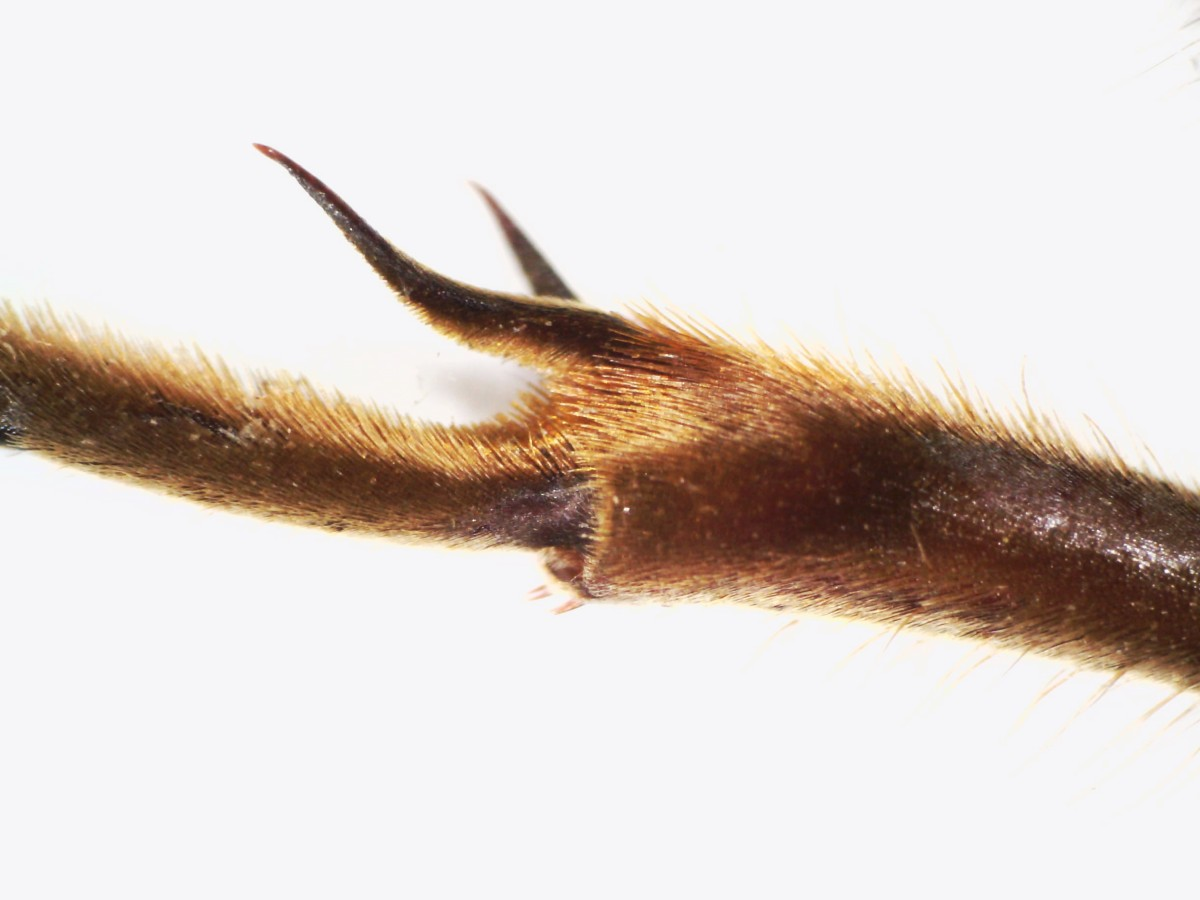 Hornisse